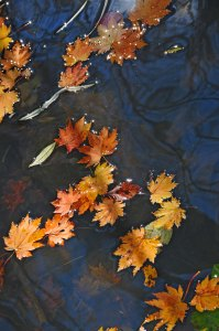 dry fallen maple leaves on the stream surface