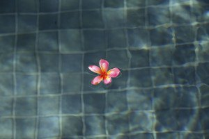 Frangipani in a swimming pool